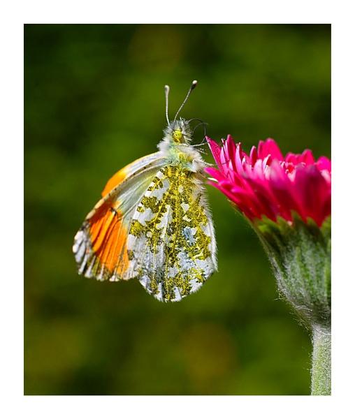 Butterfly 1 by KENZIEBOY