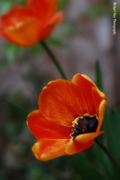 Spring Tulip by BenNevis