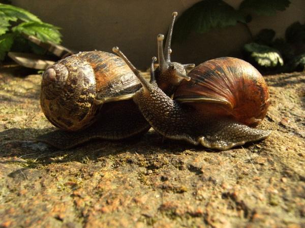 Snails in love? by SalPot77