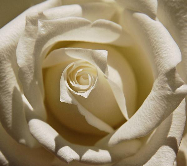 Cream rose by Janice20