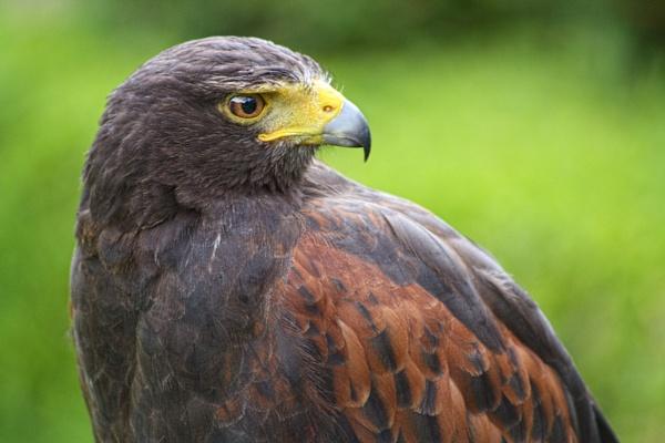 Harrier Hawk by ANNIEKERR