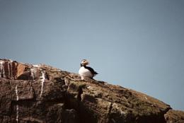 Farne Island Puffin-Apr 2011