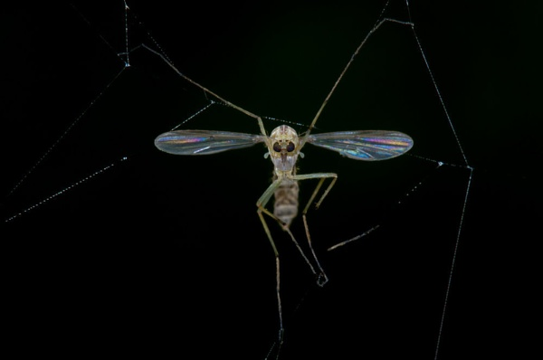 Trapped Cranefly by neil john