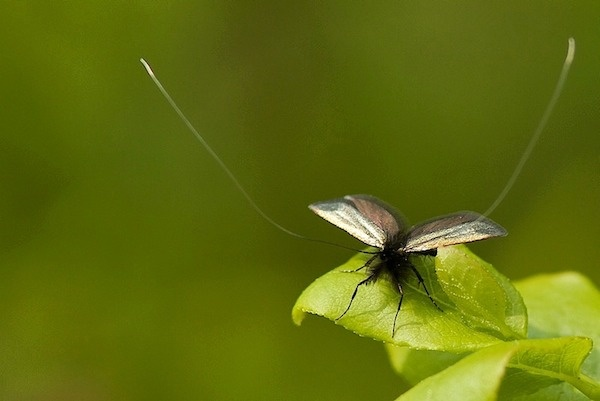 Cadis Fly by lammie