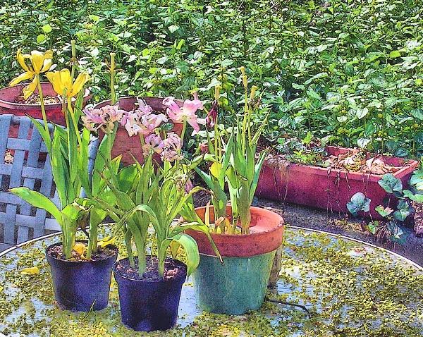 Spent Tulips by DonSchaeffer