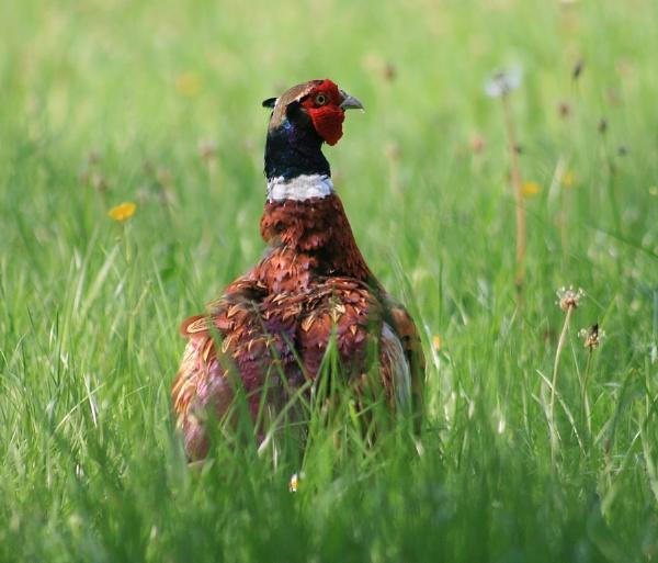 Cock Pheasant by Glostopcat