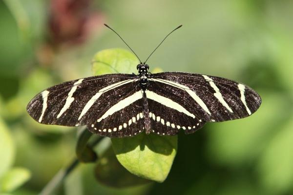 Zebra Longwing Butterfly by paulvo