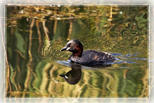 Little Grebe by dwilkin
