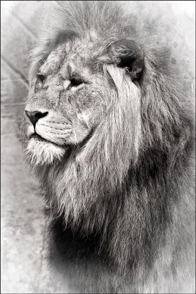 King Of The Jungle by dwilkin