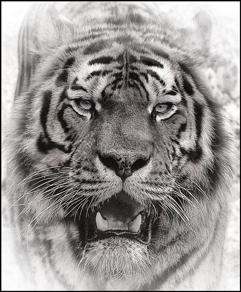 Tiger Eyes by dwilkin