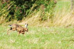 Hare on the run!