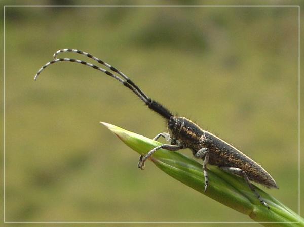longhorn beetle by CarolG