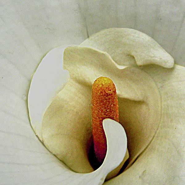 Lily by derekv