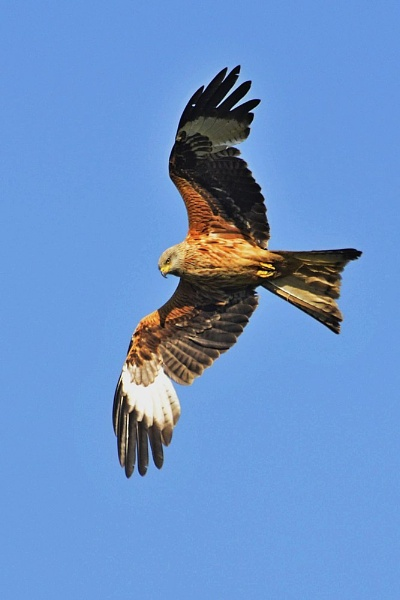 Harewood Red Kite by Kruger01