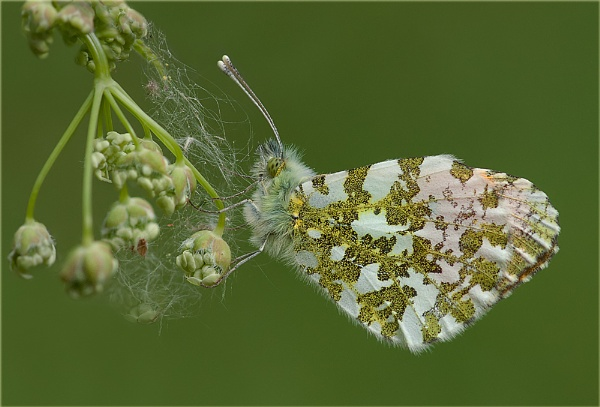 Orange Tip butterfly by Stace