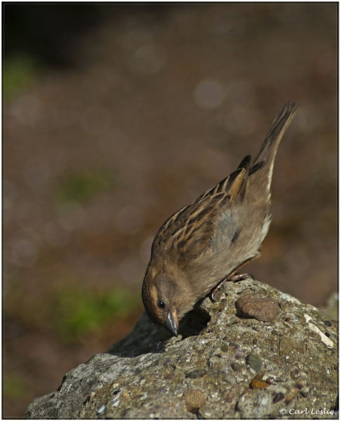 Sparrow 2 by torres99