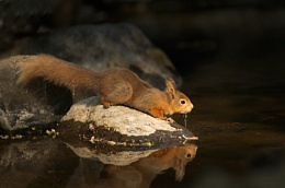 Red squirrel drinking