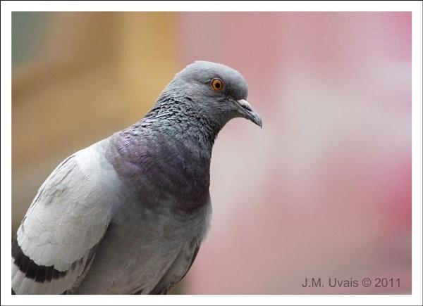 Portrait of a pigeon by jmu
