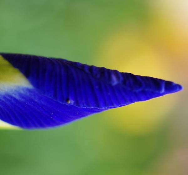 Iris by alexguja