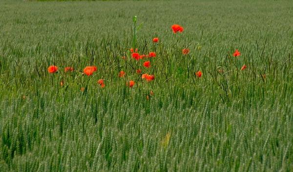 Poppy Patch by hughsey