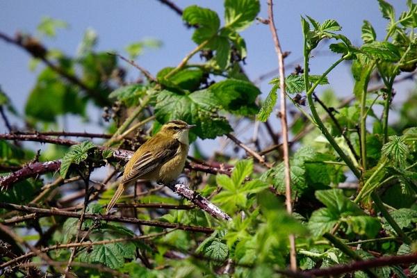 Sedge warbler by saltholme