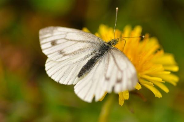 butterfly by wisp