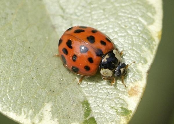Ladybird by poetslane