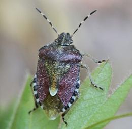 Sloe sheild Bug.