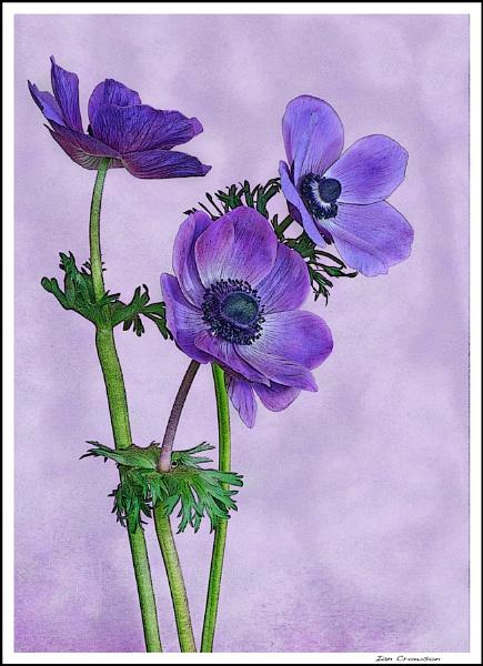 Three Blues. by iancrowson