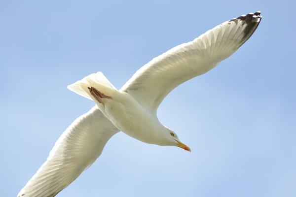 Gull by colinbear