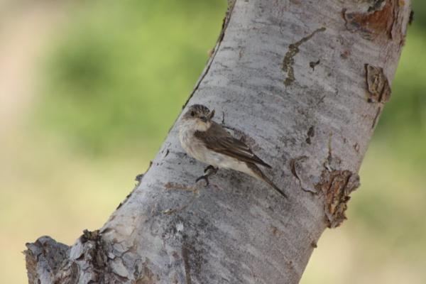 spotted flycatcher by glenheg