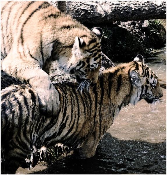 Aviemore wildlife tigers by EddyG