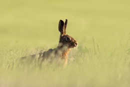 Hare in the evening sun