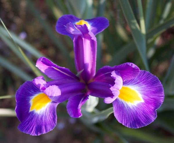 Iris by marktc
