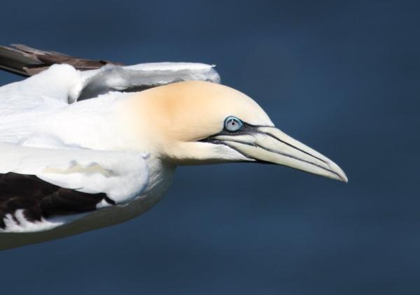 Gannet in flight by Metro6R4