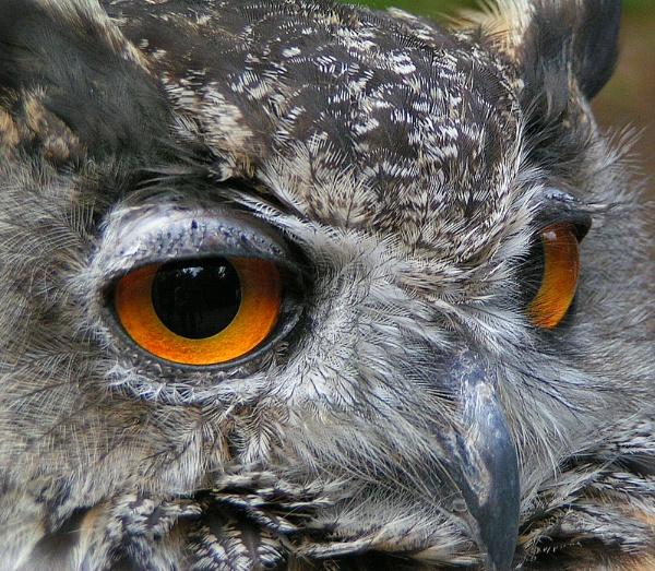 Eagle Owl by Lightthouseman