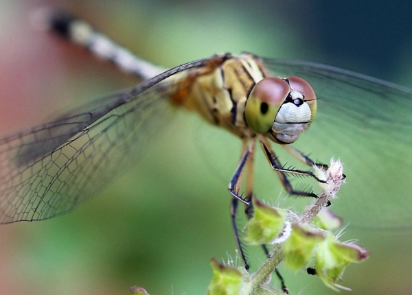 Dragonfly by maheshguild