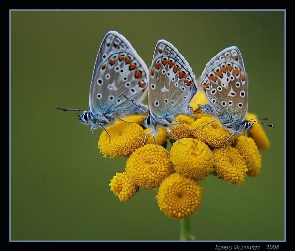 3 butterflys by ruurd