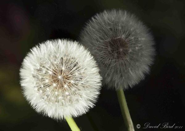 Dandelion head before the puff of wind! by DavidBird