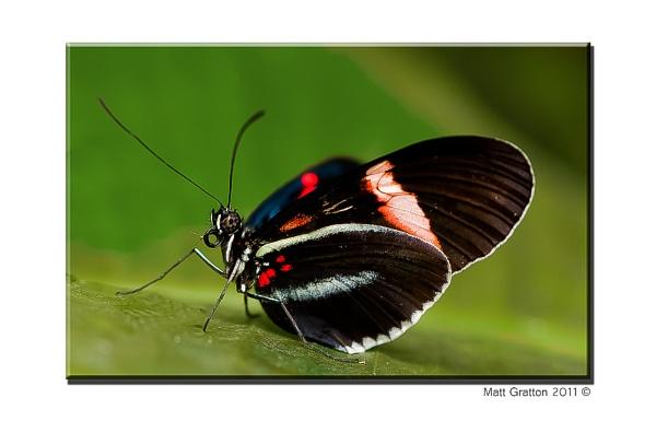 Cattle Heart Butterfly by mohikan22