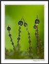 Moss Drops