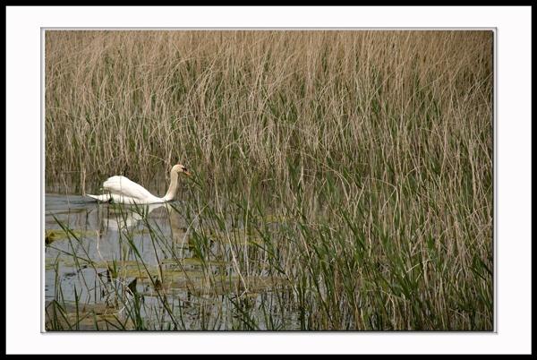 Swan in Reed Bed by grumpalot