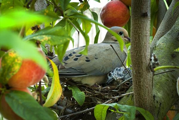 Mourning Dove Nesting #2 by gajewski