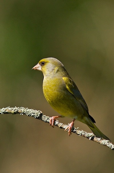 Greenfinch by lammie
