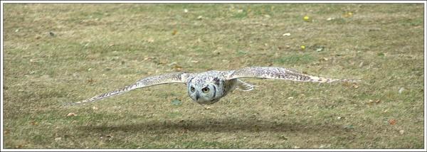 Owl, Flying by wizardsmagic