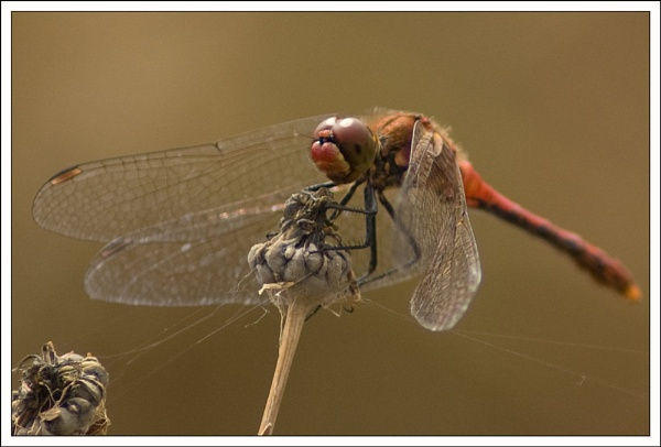Dragonfly by wizardsmagic