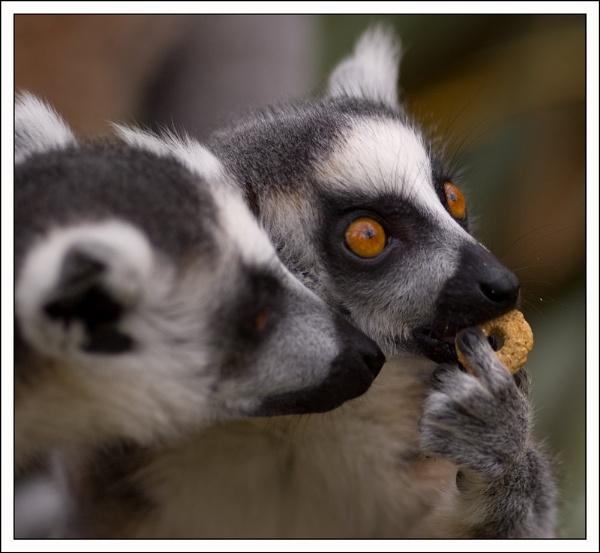 Lemur by wizardsmagic