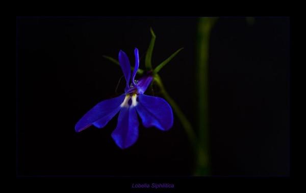 Lobelia siphilitica by StuartAt