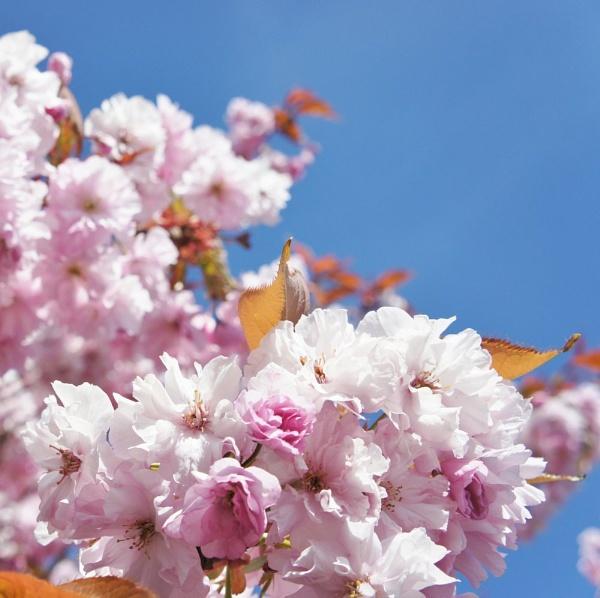 cherry pink by betttynoir