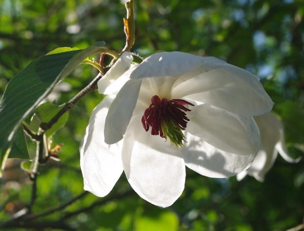 Magnolia by johnwnjr